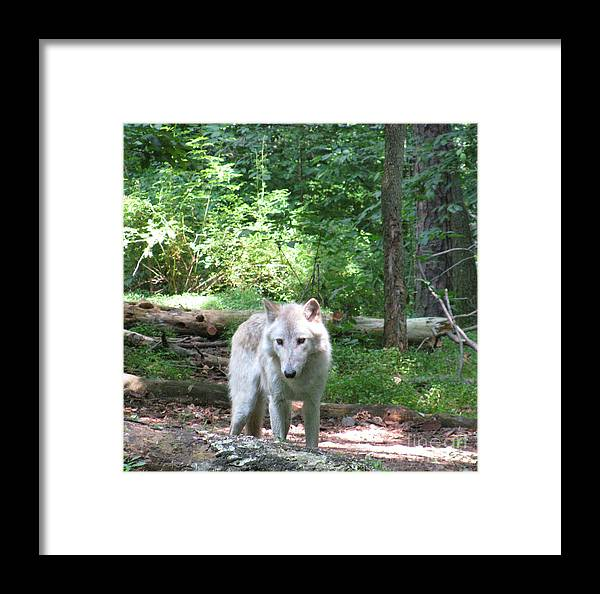 A Walk In The Forest Framed Print featuring the photograph The Wild Wolve Group A by Debra   Vatalaro