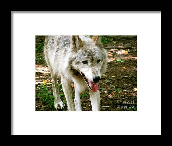 It Just To Hot Framed Print featuring the photograph The Wild Wolve Group A by Debra   Vatalaro