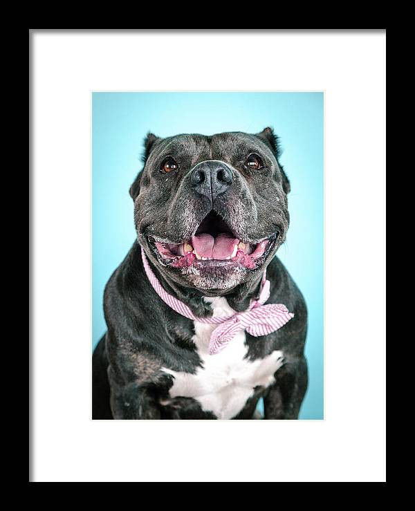 Dog Framed Print featuring the photograph Ava by Pit Bull Headshots by Headshots Melrose