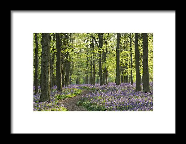 Framed Print featuring the photograph Bluebell Wood by Liz Pinchen