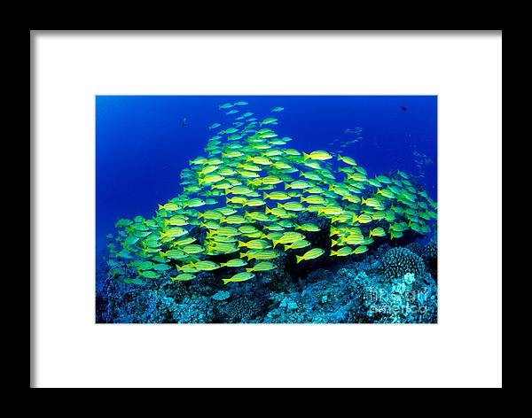 30-pfs0059 Framed Print featuring the photograph Bluestripe Snapper by Dave Fleetham - Printscapes