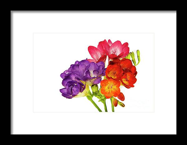 Flowers Framed Print featuring the photograph Colorful Freesias by Elvira Ladocki