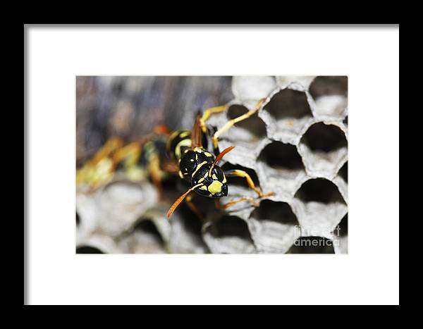 Adult Framed Print featuring the photograph Common Wasp Vespula Vulgaris by Gerard Lacz