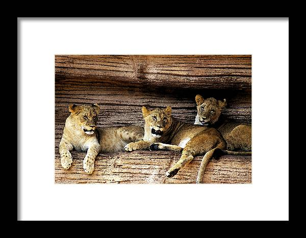 Lion Framed Print featuring the digital art 3 Cubs by Don Prioleau