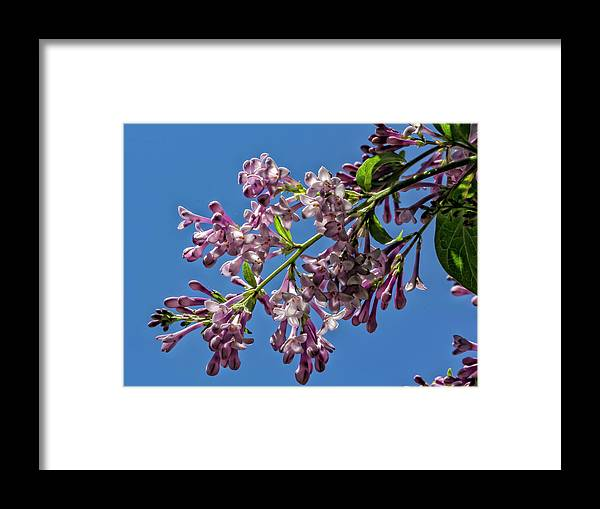 Flowering Tree Framed Print featuring the photograph Flowering Tree by Robert Ullmann