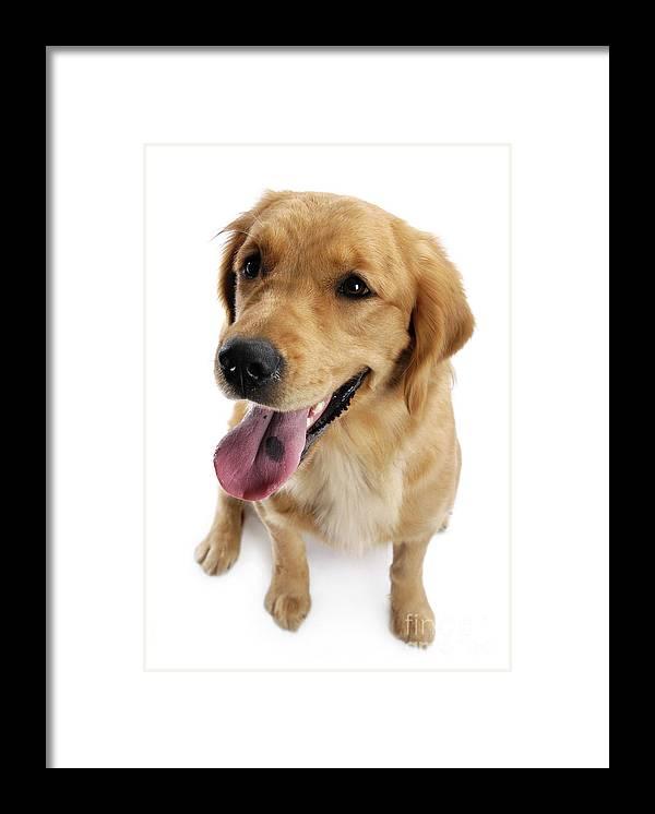 Golden Retriever Framed Print featuring the photograph Golden Retriever by Maxim Images Prints