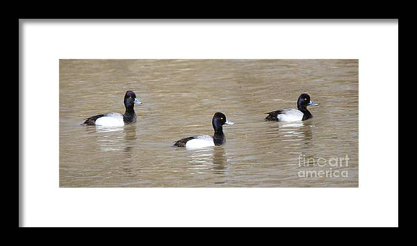 Jack Schultz Photography Framed Print featuring the photograph 3 Greater Scaup 4060 by Jack Schultz