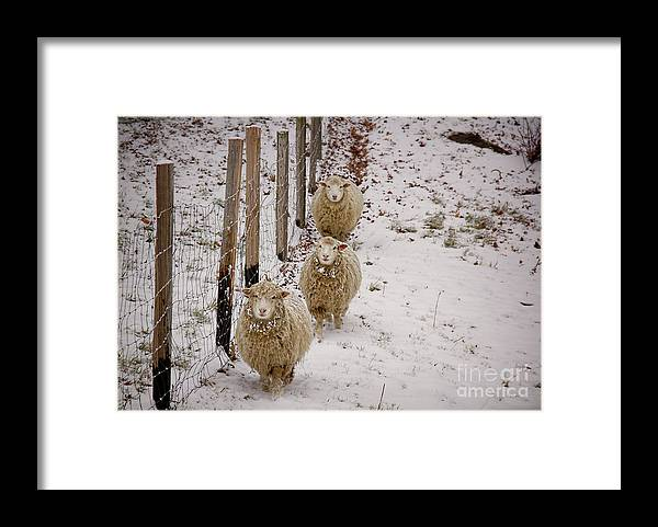 Sheep Framed Print featuring the photograph 3 Happy Sheep by Diana Nault