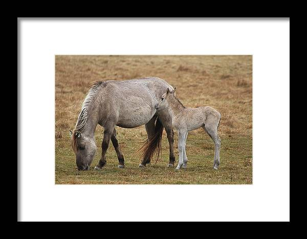 Horses Framed Print featuring the photograph Horses by FL collection