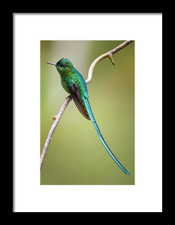 Caldas Framed Print featuring the photograph Long Tailed Sylph Rio Blanco Manizales Colombia by Adam Rainoff
