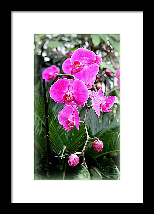 Vignette Framed Print featuring the photograph Pink Orchids by Mindy Newman