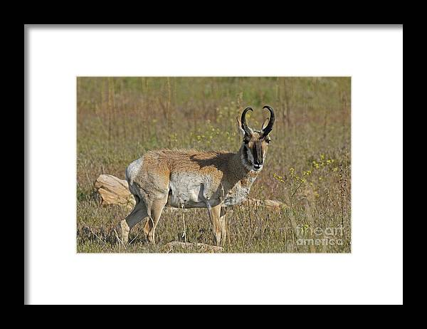 Wildlife Framed Print featuring the photograph Pronghorn by Dennis Hammer