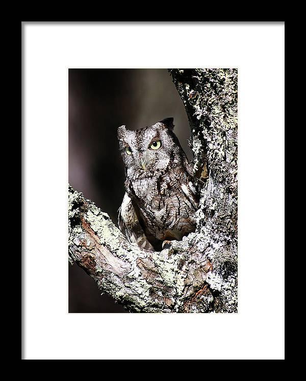 Screech Owl Framed Print featuring the photograph Screech Owl by SC Shank