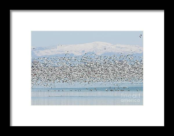 Geese Framed Print featuring the photograph Snow Geese by Dennis Hammer