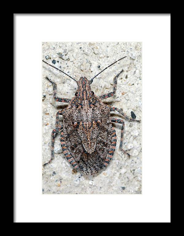 Stink Bug Framed Print featuring the photograph Stink Bug by Breck Bartholomew