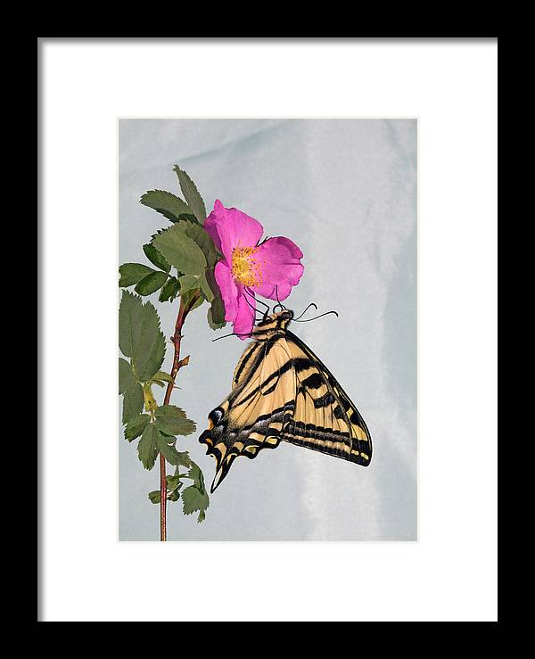 Western; Tiger; Swallowtail; Butterfly; Butterflies; Papilio; Rutulus; Wildflower; Nooka; Rose; Sitting; Feeding; Resting; Eating; Nectar; Sipping; Colorful; Insect; Bug; Fly; Flies; Flight; Flutter; Color Framed Print featuring the photograph Western Tiger Swallowtail by Buddy Mays