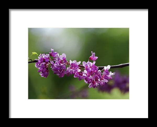Cherry Blossoms Framed Print featuring the photograph Cherry Blossoms by Robert Ullmann