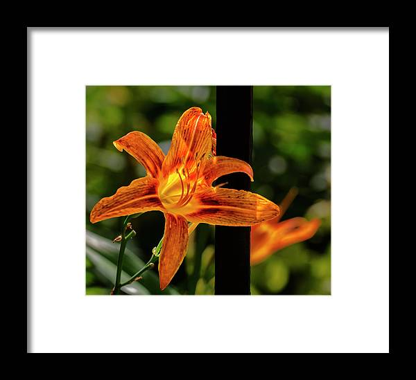 Lily Framed Print featuring the photograph Lily by Robert Ullmann