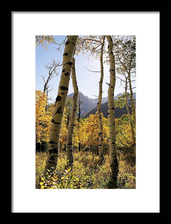 Trees Framed Print featuring the photograph 4 Aspens by Caroline Clark