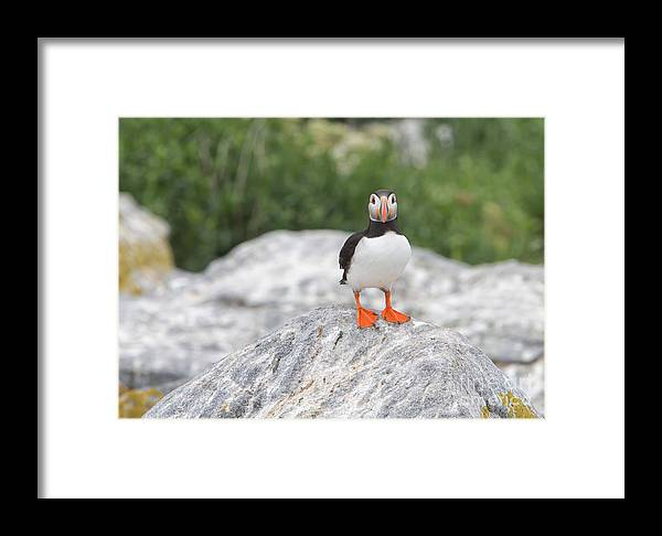 1dx Framed Print featuring the photograph Atlantic Puffin by Joshua Clark