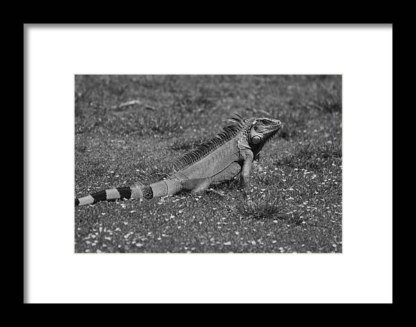 Macro Framed Print featuring the photograph I Iguana by Rob Hans