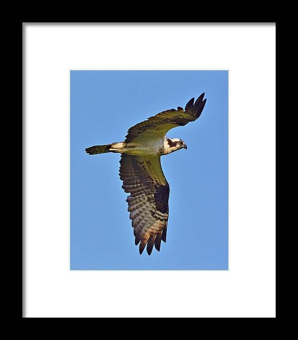 Bird Framed Print featuring the photograph Osprey by Lindy Pollard