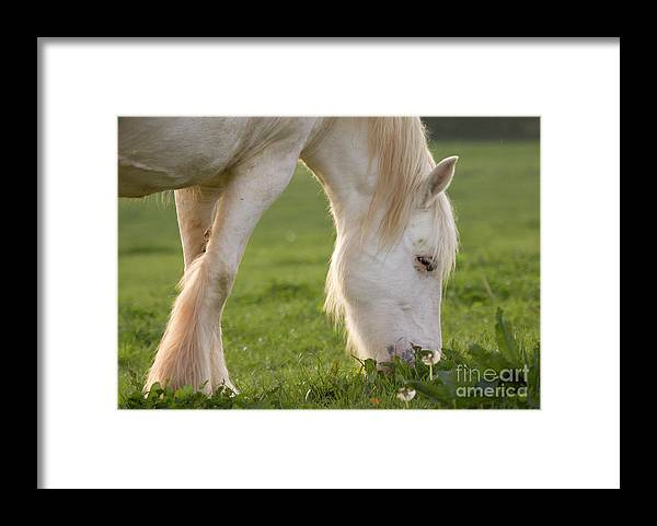 Horse Framed Print featuring the photograph White Horse by Angel Ciesniarska