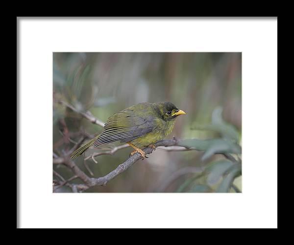 Bellbird Framed Print featuring the photograph Bellbird by Masami Iida