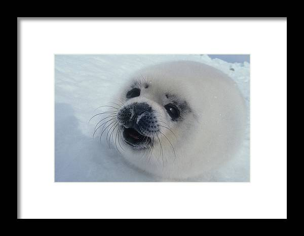 Baby Framed Print featuring the photograph Baby Harp Seal On Hudson Bay by Carl Purcell