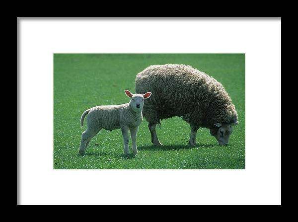 Lamb Framed Print featuring the photograph Lamb Chop With Mother by Carl Purcell