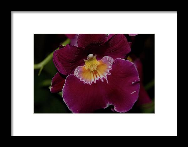 Framed Print featuring the photograph Orchid by Laurie Prentice