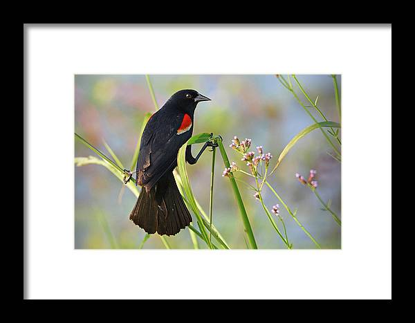 Bird Framed Print featuring the photograph Red-winged Blackbird by Lindy Pollard