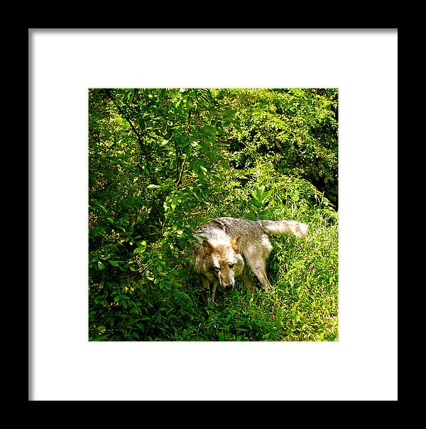 I Got To Get The Hair Off Framed Print featuring the photograph The Wild Wolve Group B by Debra   Vatalaro