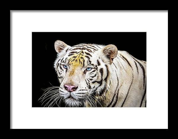 Wild Framed Print featuring the photograph White Tiger by Jijo George