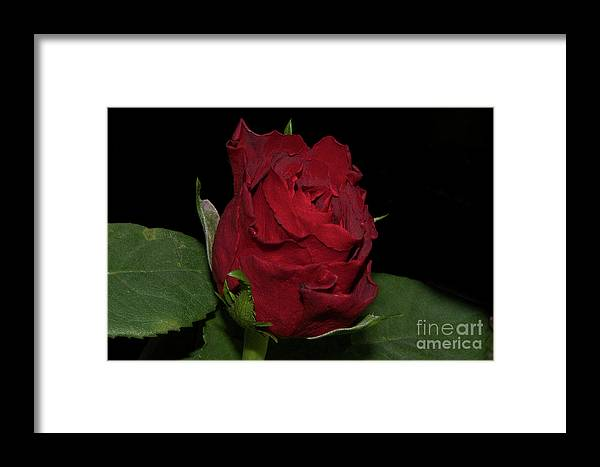 Flowers Framed Print featuring the photograph Red Rose by Elvira Ladocki