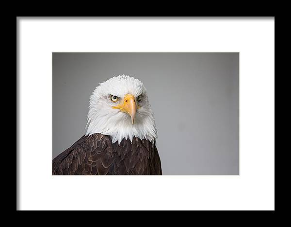 Eagle Framed Print featuring the photograph Eagle by FL collection