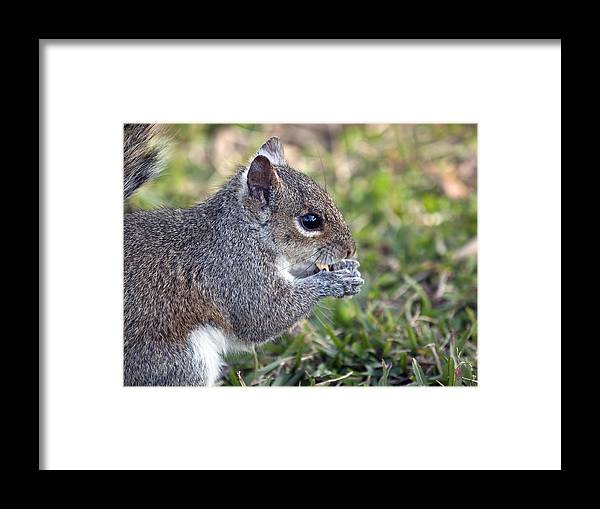 Squirrel Framed Print featuring the photograph Eastern Gray Squirrel by Allan Hughes
