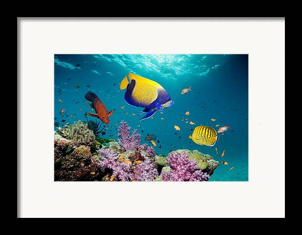 Blue-girdled Framed Print featuring the photograph Tropical Reef Fish by Georgette Douwma