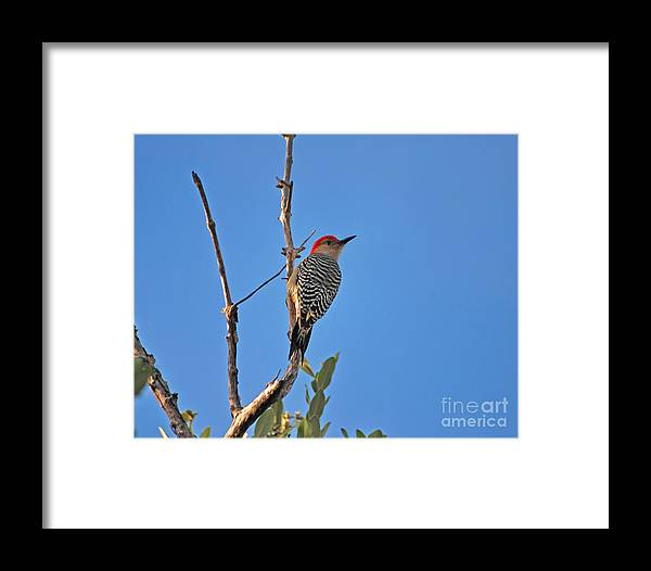 Red-bellied Woodpecker Framed Print featuring the photograph 62- Red-bellied Woodpecker by Joseph Keane