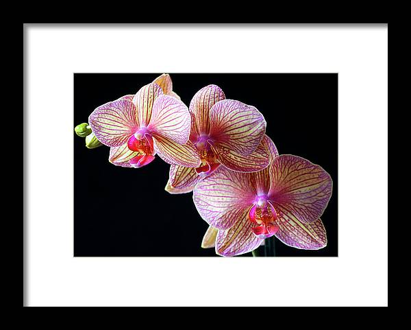 Orchids Framed Print featuring the photograph Orchids by Bruce Beck