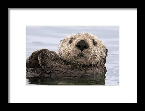 00429873 Framed Print featuring the photograph Sea Otter Elkhorn Slough Monterey Bay by Sebastian Kennerknecht