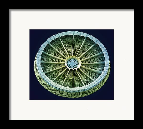 Arachnoidiscus Sp. Framed Print featuring the photograph Diatom, Sem by Steve Gschmeissner