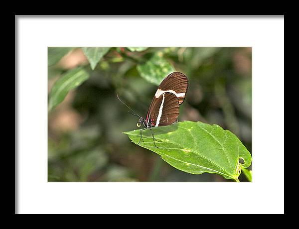 Butterfly Framed Print featuring the photograph Butterfly by Theo Tan