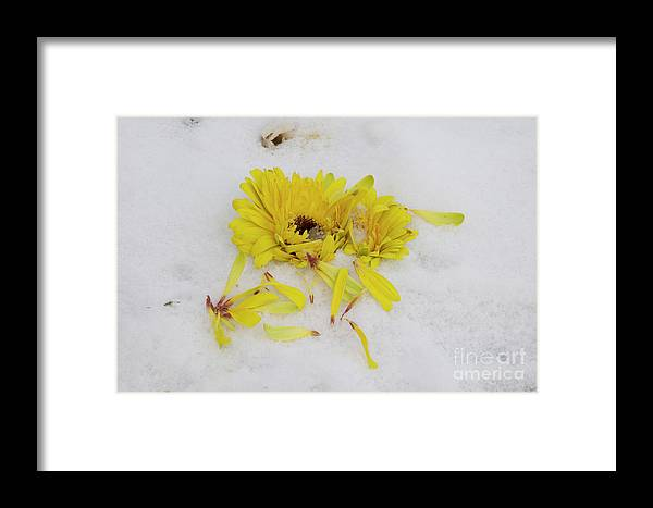Flowers Framed Print featuring the photograph Yellow Gerber by Elvira Ladocki