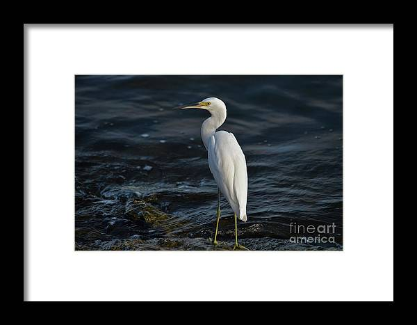 Snowy Egret Framed Print featuring the photograph 89- Snowy Egret by Joseph Keane