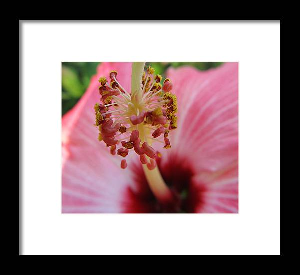 Hibiscus Framed Print featuring the photograph Hibiscus by Michele Caporaso
