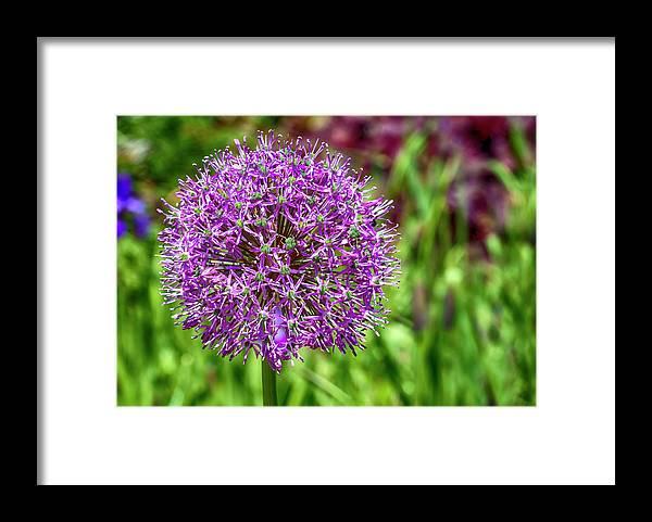 Flower Framed Print featuring the photograph Pincushion by Robert Ullmann