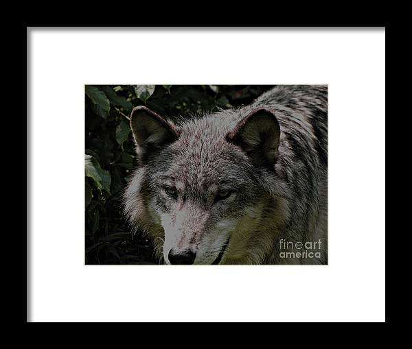 Wild Wolves Group B Framed Print featuring the photograph The Wild Wolve Group B by Debra   Vatalaro