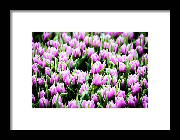 Pink Framed Print featuring the photograph Tulips by Jijo George
