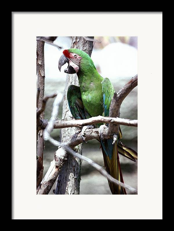 Macaw Framed Print featuring the photograph 92347-10 by Mike Davis
